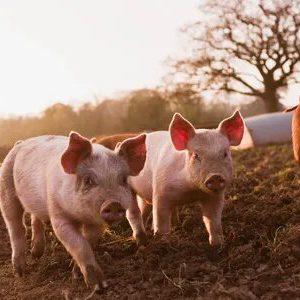 Our Pork